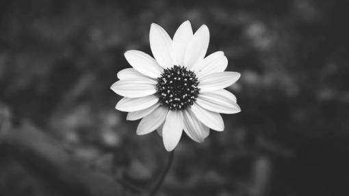 Free Images  blossom, ?black? and white, ?flower?, petal