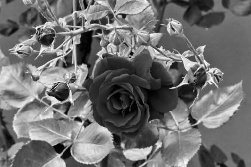 garden flowers flower rose sunshine leaf shrub flora nature  roses