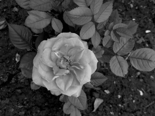 ground roses shrub plant rose petal leaf nature flower