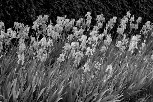 iris flower plant summer garden flora nature spring herb flowers purple purplish focus outdoors
