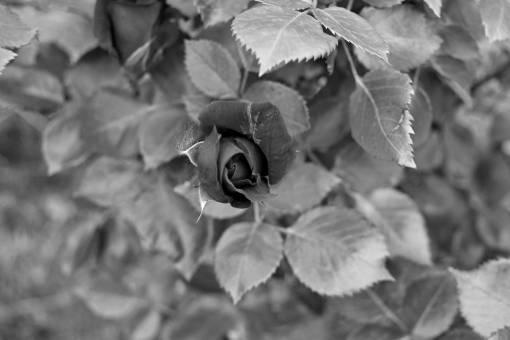 leaf rose bud vegetation plant nature green petal flora flower kb