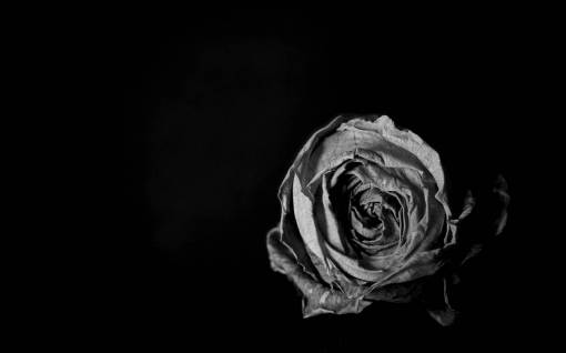 light  black and white  flower  petal