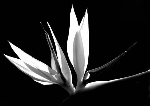 light  black and white  leaf  petal
