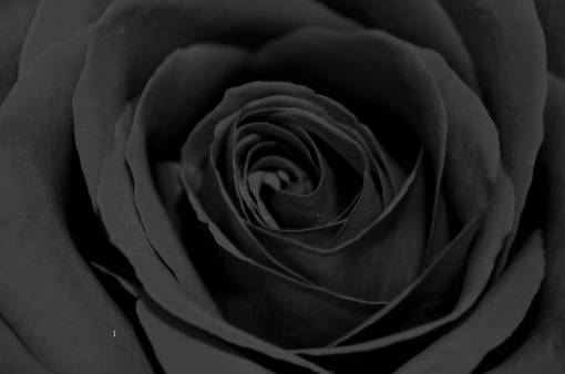 nature  black and white  flower  petal  love