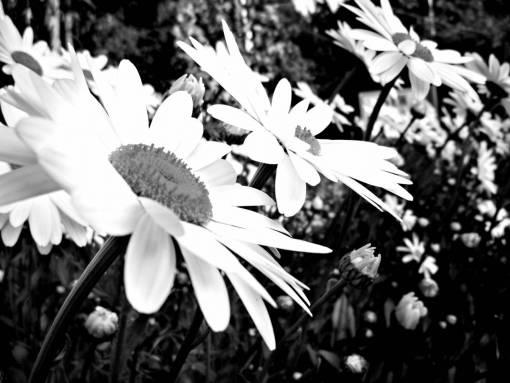 nature  blossom  black and white  leaf