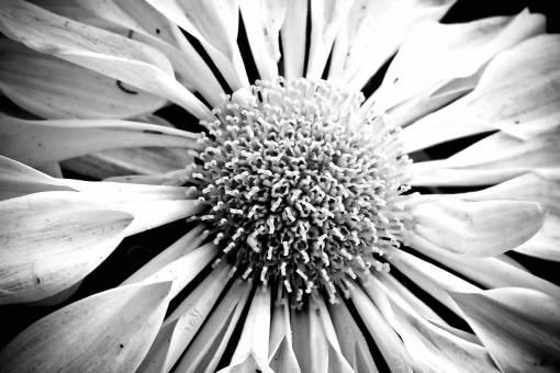 nature  blossom  black and white  petal