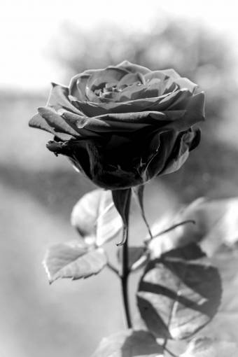 nature  blossom  black and white  sweet