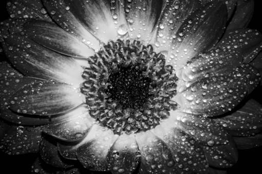 nature  blossom  dew  flower  petal  bloom