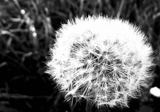 nature  grass  black and white  dandelion