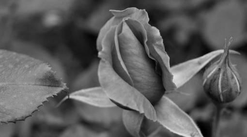 rose leaf shrub flower plant flora petal bud garden