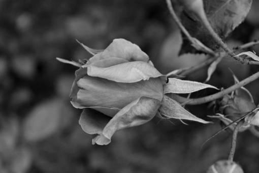 rose pink flower bud plant nature blossom shrub roses flora  yellow garden