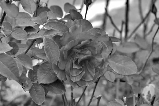 roses garden rose shrub reddish leaves plant flower leaf nature