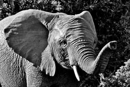animal portrait  african bush elephant
