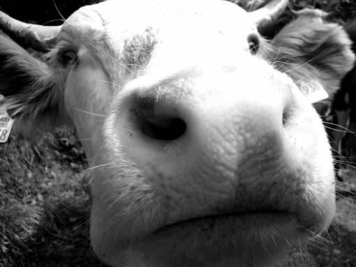 animal  portrait  cow  fauna  close up  face