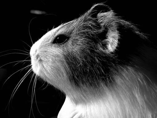 animal  portrait  mammal  rodent  guinea pig