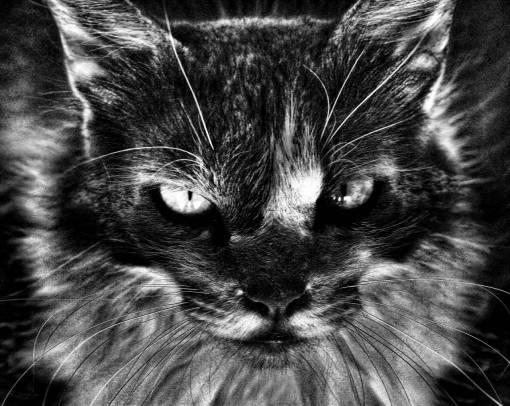 black and white  kitten  feline  black white