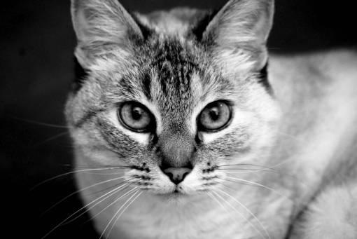black and white  pet  portrait  kitten