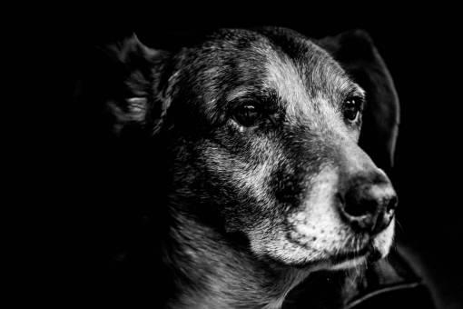 black and white  puppy  pet  fur  portrait