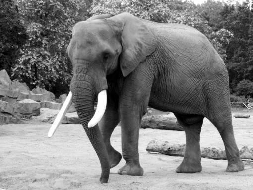 black and white  wildlife  zoo  mammal