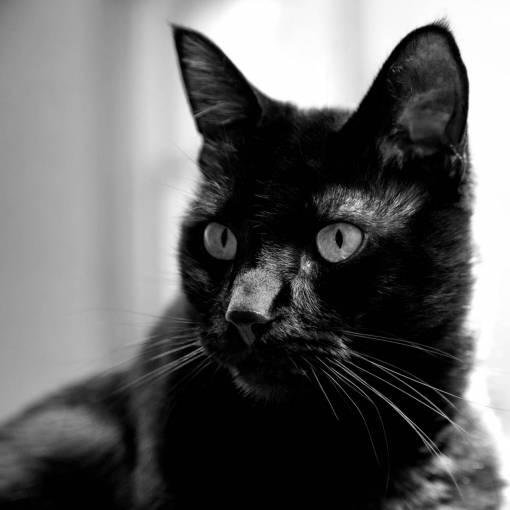 home  animal  pet  portrait  black cat