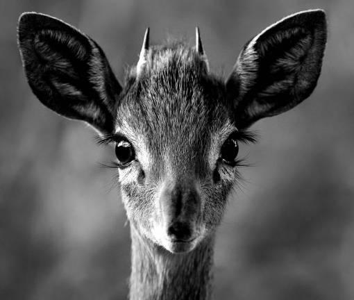nature  animal  wildlife  horn  portrait