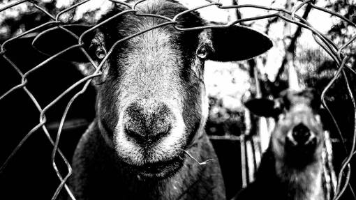nature  fence  black and white  farm  cute