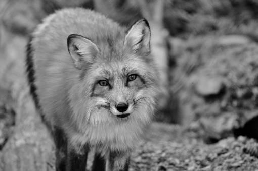 nature  zoo  fauna  red fox  vertebrate