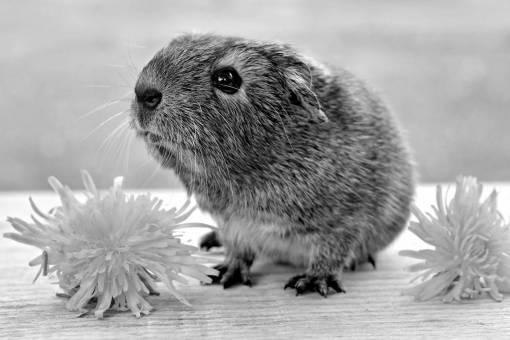 pet  portrait  mammal  close  rodent  fauna