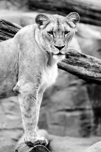 animal  looking  wildlife  wild  zoo