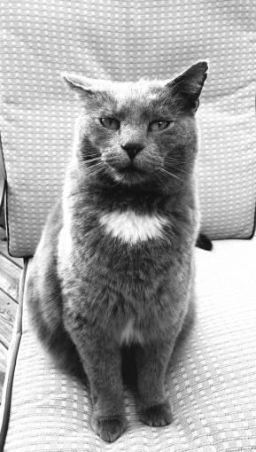 animal  pet  portrait  feline  gray  whisker