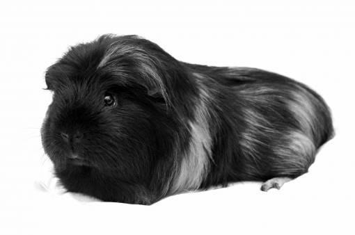 animal  pet  portrait  mammal  rodent