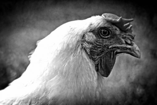 bird  wing  farm  animal  portrait  beak