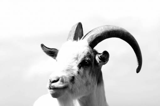 horn  pet  portrait  sheep  mammal  fauna