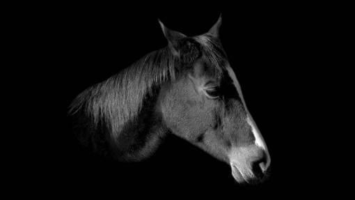 livestock  brown  stallion  mane  ride