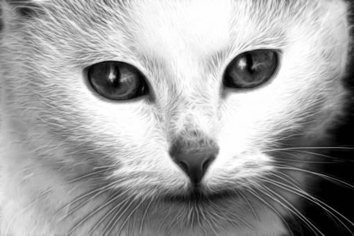 nature  white  animal  pet  portrait  kitten