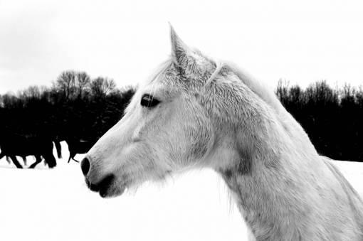 snow  winter  pasture  stallion  mane  pony