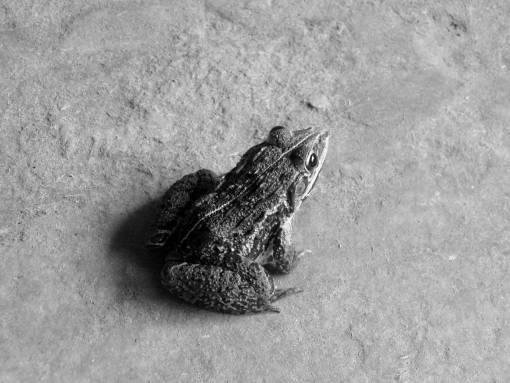 nature  animal  wildlife  frog  toad