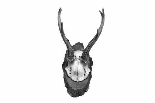 retro  wild  horn  mammal  skull  material