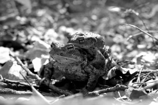 wildlife  autumn  brown  frog  amphibian