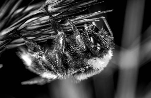 bumblebee  invertebrate  macro photography