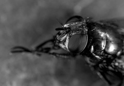 fly  eyes  paws  pest  macro photography