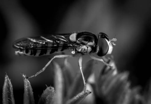 macro photography  pest  fly  close up