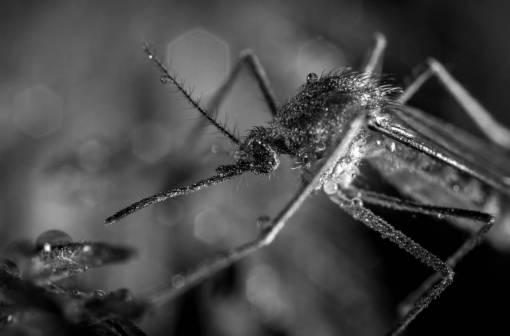 mosquito  dew  macro photography  pest