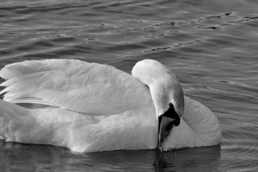 bird swan swim swimming water lake aquatic waterfowl feather wildlife birds  swans