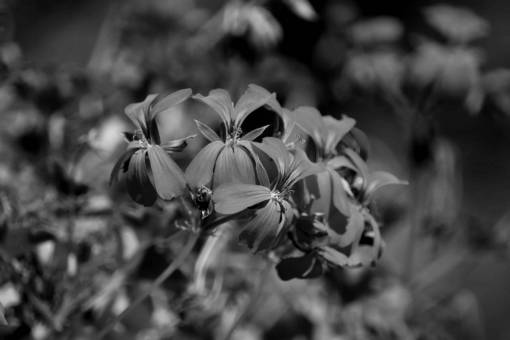 geranium flowers flower sunshine petals plant summer nature herb  plants