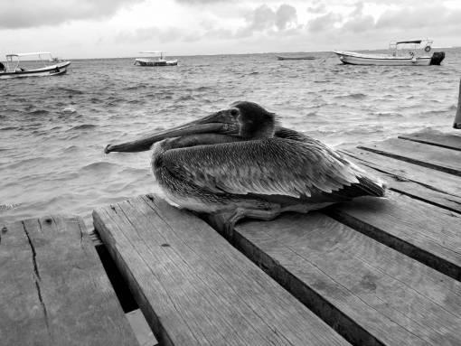 pelican bird brown aquatic water summer boats pier coast ocean season