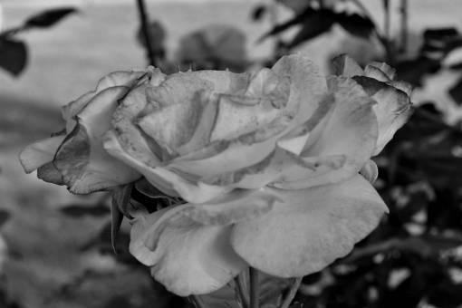 pink flower roses garden nature rose blooming plant shrub petal flowers