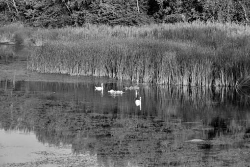 swan bird water land wetland swamp lake landscape reflection nature