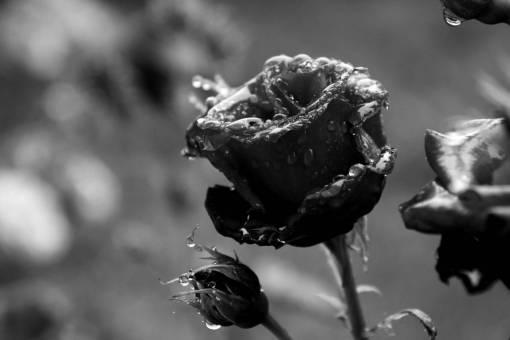 blossom  dew  rain  flower  petal  wet